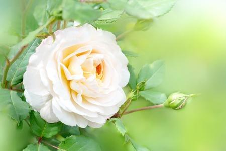 Flower of the rose in the summer garden. English Rose Crocus Rose of David Austin.