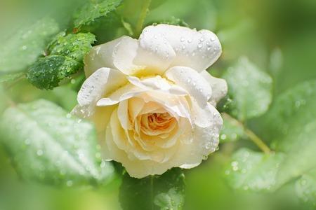 Bloem van creme roos in de zomertuin. English Rose Crocus Rose of David Austin. Na de regen. Stockfoto