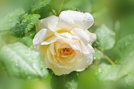 Flower of cream rose in the summer garden. English Rose Crocus Rose of David Austin. After the rain.