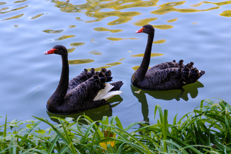 Two black swans with red beaks are floating in the pond.