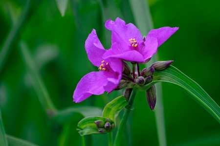 Flowers of lilac tradescantia in the summer garden. Spring park. Stock Photo