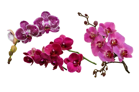 Spotted purple, pink and lilac flowers of orchids phalaenopsis, living tropical plant. Isolated, white background. Stock Photo