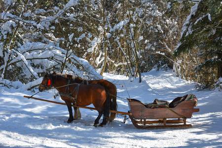 Walking on a frosty winter sunny day in sleigh with horse harness. Snow-covered road in the winter forest. Stock Photo