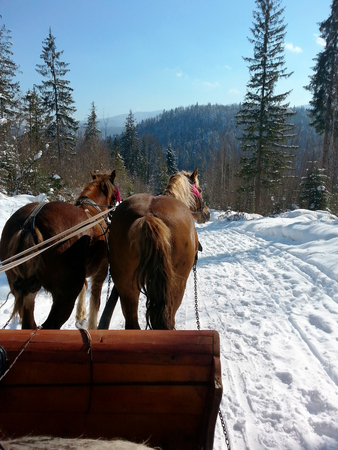 Walking on a frosty winter sunny day in sleigh with horse harness. Snow-covered road in the winter forest.