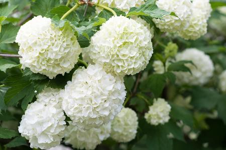 White flowers of viburnum snow ball in spring garden. Guelder rose boule de neige. Stok Fotoğraf