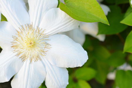 Flower of white clematis in the spring garden. Bush of white clematis.