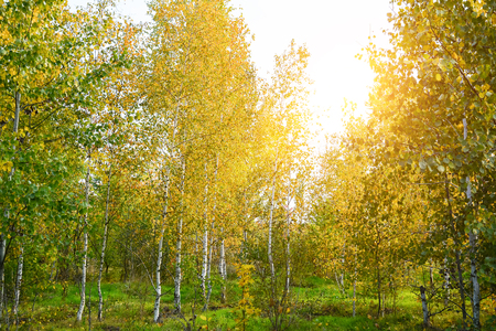 Yellow leaves of trees in birch grove, colors of leaf-fall. Autumnal forest landscape. Stock Photo