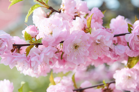 Delicate pink flowers of blossoming Japanese cherry in the spring garden. Blossoming sakura tree.