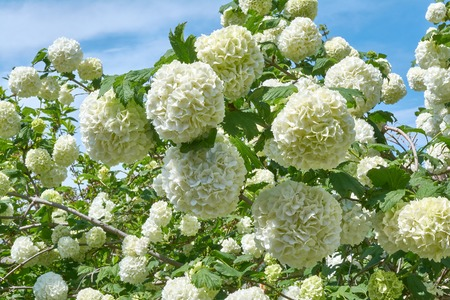 White flowers of viburnum snow ball in spring garden. Guelder rose boule de neige. Stok Fotoğraf