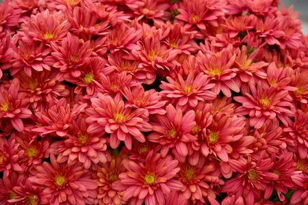 Decorative composition of red chrysanthemum flowers, autumn bouquet. Red chrysanthemum in autumn garden. Stock Photo