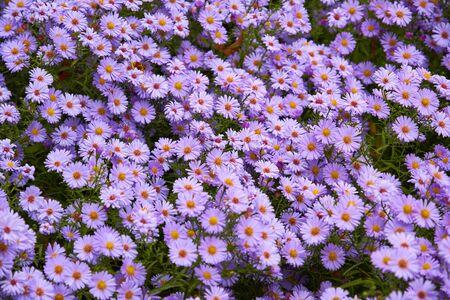 Decorative composition of lilac chrysanthemum flowers, autumn bouquet. Lilac chrysanthemum in autumn garden.