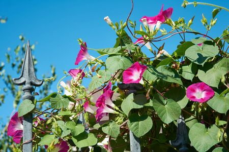 Convolvulus with bright pink flowers. Plant bindweed with brightly purple colored funnel-shaped flowers.