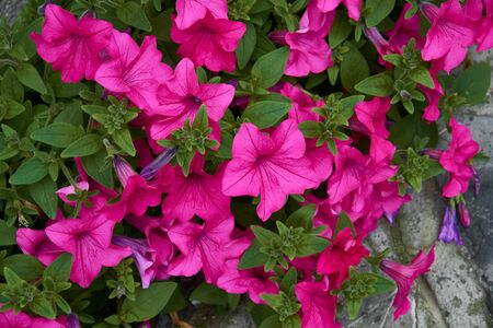 Petunia with bright pink flowers. Plant with brightly purple colored funnel-shaped flowers.