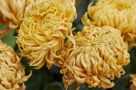 Chrysanthemum grandiflorum Ramat. Bendy Bronze. Yellow chrysanthemum in autumn botanical garden. Decorative composition of yellow chrysanthemum flowers, autumn bouquet. Stok Fotoğraf