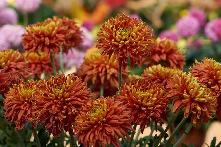 Chrysanthemum grandiflorum Ramat. Crimson Robe. Orange chrysanthemum in autumn botanical garden. Decorative composition of orange chrysanthemum flowers, autumn bouquet.