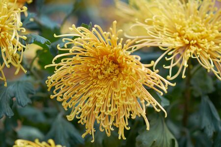 Chrysanthemum grandiflorum Ramat. Homaro. Yellow chrysanthemum in autumn botanical garden. Decorative composition of yellow chrysanthemum flowers, autumn bouquet.