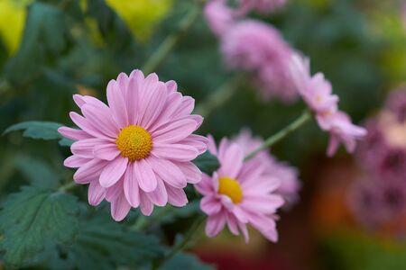Chrysanthemum grandiflorum Ramat. Decorative composition of pink chrysanthemum flowers, autumn bouquet. Pink chrysanthemum in autumn garden.