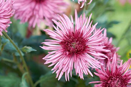 Chrysanthemum grandiflorum Ramat. Westland Regal. Decorative composition of pink chrysanthemum flowers, autumn bouquet. Pink chrysanthemum in autumn botanical garden.