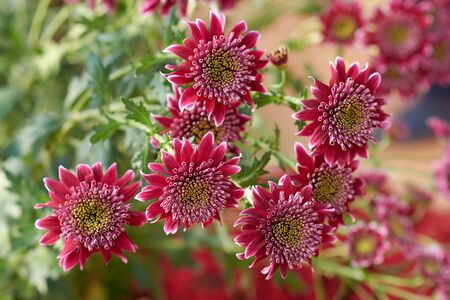 Chrysanthemum grandiflorum Ramat. Disco Club. Decorative composition of purple chrysanthemum flowers, autumn bouquet. Magenta chrysanthemum in autumn Iasi botanical garden, Romania. Stok Fotoğraf