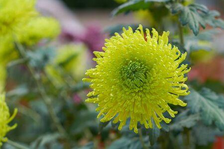 Chrysanthemum grandiflorum Ramat. Induna Green. Decorative composition of yellow chrysanthemum flowers, autumn bouquet. Green chrysanthemum in autumn Iasi botanical garden, Romania.