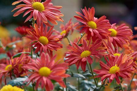 Chrysanthemum grandiflorum Ramat. Mary. Decorative composition of red chrysanthemum flowers, autumn bouquet. Orange chrysanthemum in autumn Iasi botanical garden, Romania.