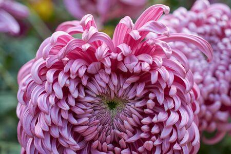 Chrysanthemum grandiflorum Ramat. Vienna Pink. Decorative composition of pink chrysanthemum flowers, autumn bouquet. Lilac chrysanthemum in autumn Iasi botanical garden, Romania.