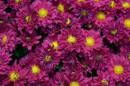 Decorative composition of purple chrysanthemum flowers, autumn bouquet. Magenta chrysanthemum in autumn Iasi botanical garden, Romania.