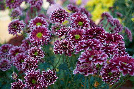 Chrysanthemum grandiflorum Ramat. Barletta. Decorative composition of purple chrysanthemum flowers, autumn bouquet. Magenta chrysanthemum in autumn Iasi botanical garden, Romania.