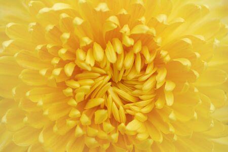 Chrysanthemum grandiflorum Ramat. Miss Edith.  Background of yellow chrysanthemum flowers, autumn bouquet. Golden chrysanthemum in leaf fall Iasi botanical garden, Romania.