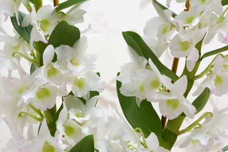 White flowers Dendrobium orchid, living tropical plant. Orchid Dendrobium.Flowers in a botanical garden or flower shop. Stok Fotoğraf