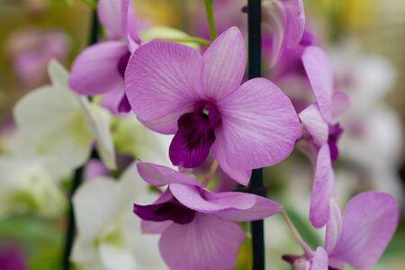 Pink flowers Dendrobium orchid, living tropical plant. Orchid Dendrobium.Flowers in a botanical garden or flower shop. Stok Fotoğraf