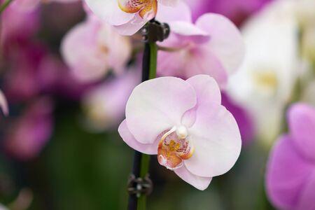 Pink flowers phalaenopsis orchid, living tropical plant. Orchid Phalaenopsis. Flowers in a botanical garden or flower shop. Stok Fotoğraf