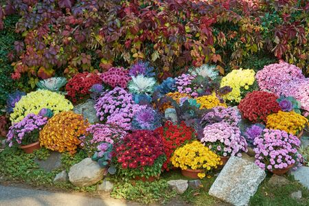 Decorative composition of fresh chrysanthemum flowers, autumn bouquet. Ornamental design with colorful flowers of chrysanthemums. Multicolored chrysanthemums in autumn Iasi botanical garden, Romania. 免版税图像