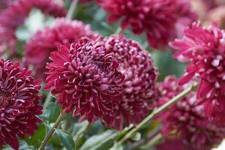 "Chrysanthemum grandiflorum Ramat. ""Sheer Purple"". Decorative composition of red chrysanthemum flowers, autumn bouquet. Purple chrysanthemum in autumn Iasi botanical garden, Romania."