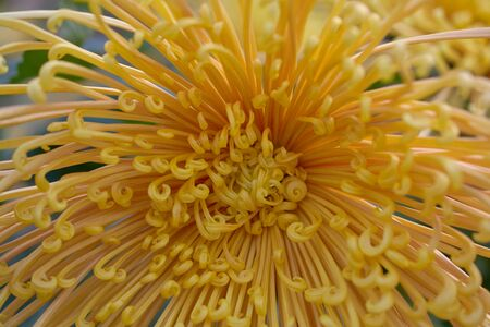 "Chrysanthemum grandiflorum Ramat. ""Homaro"". Yellow chrysanthemum in autumn botanical garden. Decorative composition of yellow chrysanthemum flowers, autumn bouquet."