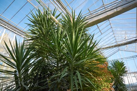 Greenhouse with tropical, exotic plants in the botanical garden. Orangery in the arboretum.