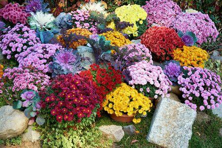 Decorative composition of fresh chrysanthemum flowers, autumn bouquet. Ornamental design with colorful flowers of chrysanthemums. Multicolored chrysanthemums in autumn botanical garden