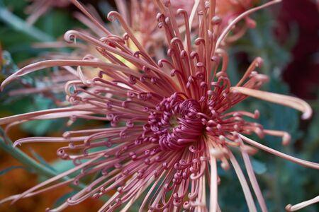 Chrysanthemum grandiflorum. Decorative composition of pink chrysanthemum flowers, autumn bouquet. Red chrysanthemum in autumn botanical garden.