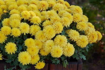 Decorative composition of yellow chrysanthemum, autumn bouquet. Golden chrysanthemum in leaf fall botanical garden.