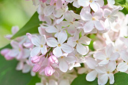 Fragrant spring lilac flowers in the springtime garden.