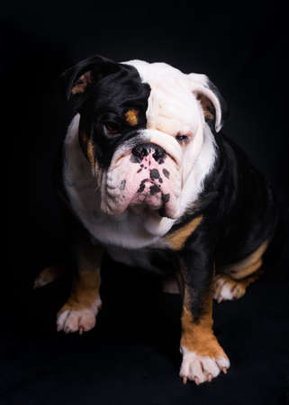 Black and white English Bulldog sitting  on black background