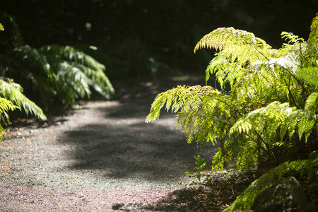 A fern plant growing on the side of gravel path, backlit with sun light