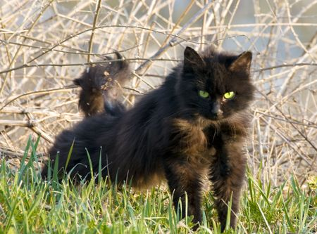 A homeless cat with aggressive look and green eyes (in focus) in morning grass and bush with dew Фото со стока
