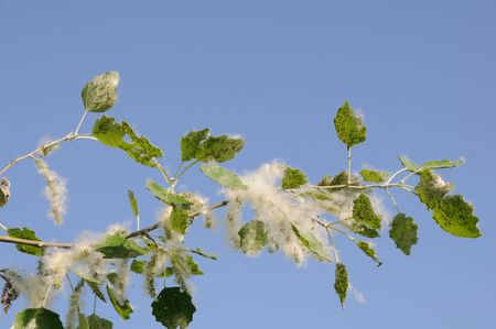 Poplar branch covered by white fluff and aphis Stock Photo - 7002957