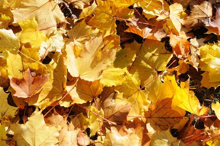 Background with yellow and orange autumn maple leaves photo