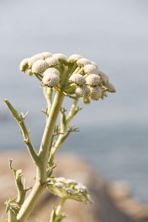 inflorescence: Wormwood flowers close-up with selective focus on front of inflorescence Stock Photo