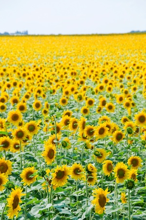 Sunflowers field with huge number of flowers with clear sky above photo
