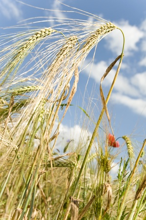 field of wheat with blue sky on background photo