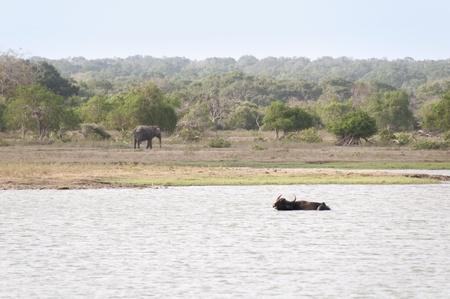 Buffalo and elephant, a lake in anuradhapura reserve sri lanka photo
