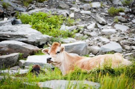 cud: Cow on mountains pasture